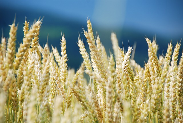 wheat dataset